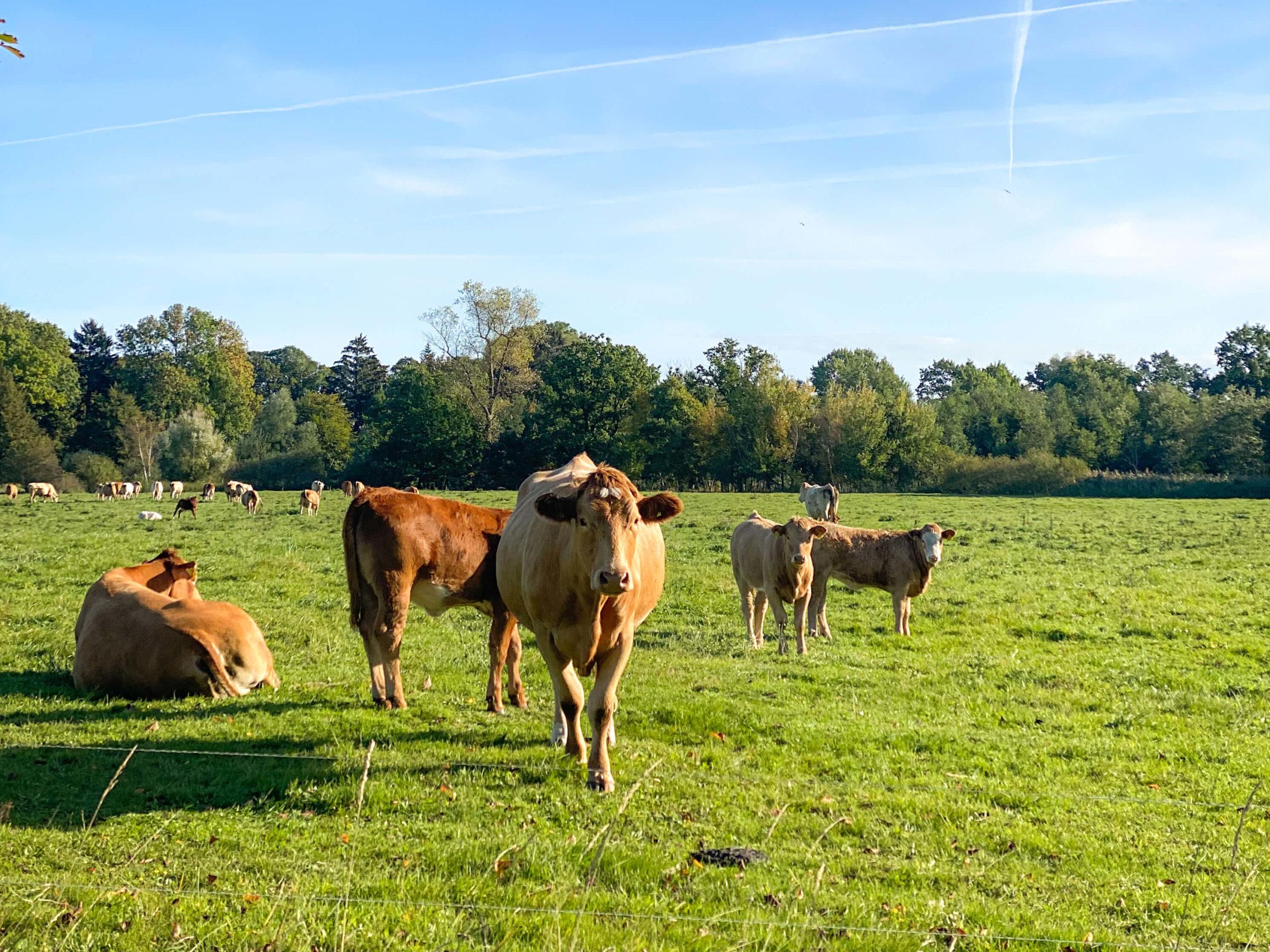 Rinder auf einer grünen Wiese mit blauem Himmel