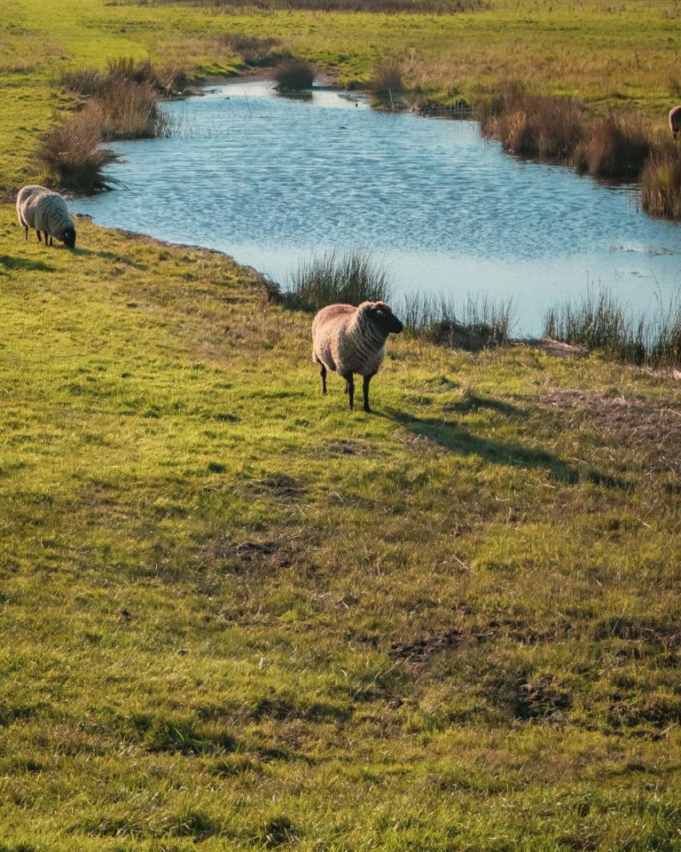 Schafe weiden auf der Salzwiese vor Kloster auf Hiddensee